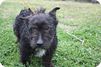 Scottie, Scottish Terrier Mix Dog for adoption in Manchester, Connecticut - Betsy ADOPTION PENDING
