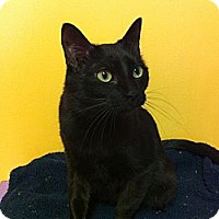 Domestic Shorthair Cat for adoption in Topeka, Kansas - Trixie