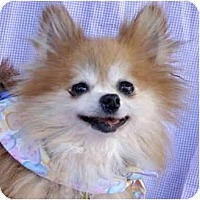 Adopt A Pet :: Pommie - San Francisco, CA