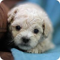 Adopt A Pet :: Gideon - La Costa, CA