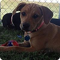 Adopt A Pet :: Ginger - Pocahontas, AR