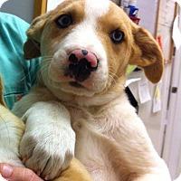 Adopt A Pet :: Blue - Pocahontas, AR