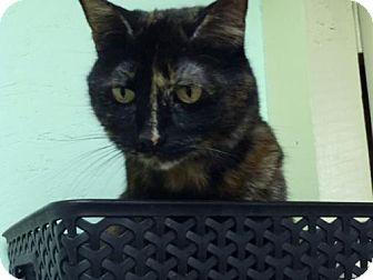 Domestic Shorthair Cat for adoption in Omaha, Nebraska - Sequoia