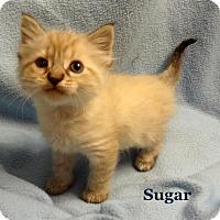 Adopt A Pet :: Sugar - Bentonville, AR