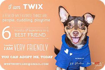 Shepherd (Unknown Type)/Miniature Pinscher Mix Puppy for adoption in Houston, Texas - Twix