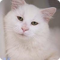 Adopt A Pet :: Alfredo Linguine - Merrifield, VA