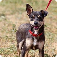 Adopt A Pet :: Brownie - Buchanan Dam, TX