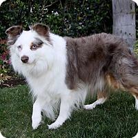 Adopt A Pet :: BONZER - Newport Beach, CA