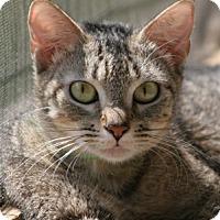 Adopt A Pet :: Ambrosia - North Fort Myers, FL
