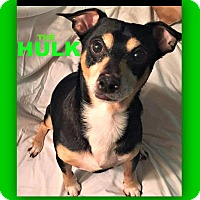 Adopt A Pet :: Hulk - Wantagh, NY