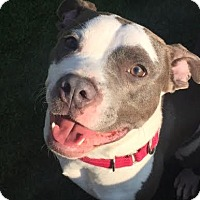 Adopt A Pet :: Archer - Chicago, IL