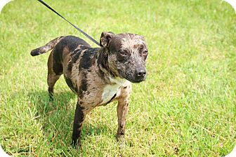 Cattle Dog/Pit Bull Terrier Mix Dog for adoption in Loogootee, Indiana - Ruby
