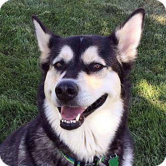 Alaskan Malamute Dog for adoption in Boise, Idaho - JASMINE - Adoption Pending