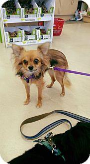 Chihuahua/Pomeranian Mix Puppy for adoption in Ponca City, Oklahoma - Tanuki