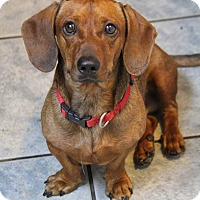 Dachshund Mix Dog for adoption in Yuba City, California - Corkie