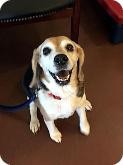 Beagle Dog for adoption in Mansfield, Texas - Sissy