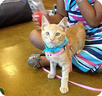 Domestic Shorthair Kitten for adoption in San Ysidro, California - Colo