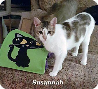 Domestic Shorthair Cat for adoption in Bentonville, Arkansas - Susannah