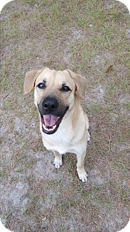 Black Mouth Cur/Shepherd (Unknown Type) Mix Dog for adoption in Umatilla, Florida - Obie