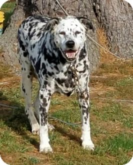 Dalmatian Dog for adoption in New York, New York - Ash