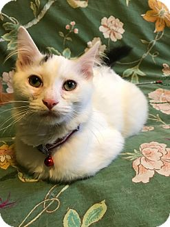 Domestic Mediumhair Kitten for adoption in Chicago, Illinois - Tater AKA Sweet Potato