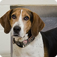 Coonhound Mix Dog for adoption in Peace Dale, Rhode Island - Roxy