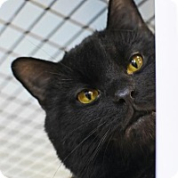 Adopt A Pet :: Sable - Denver, CO