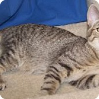 Adopt A Pet :: Shrek - Colorado Springs, CO