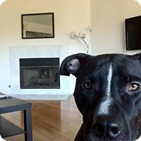 Adopt A Pet :: Felix - Marina del Rey, CA