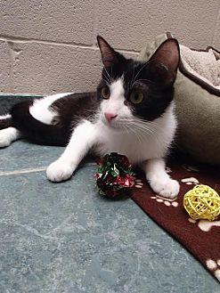 Domestic Shorthair Cat for adoption in Lima, Ohio - Hammish