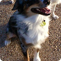 Adopt A Pet :: Kaylor - MINI AUSSIE - Houston, TX