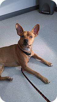Pharaoh Hound/Boxer Mix Dog for adoption in Columbus, Ohio - Jake