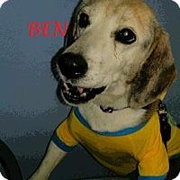 Adopt A Pet :: BEN - Ventnor City, NJ