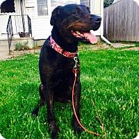 Rottweiler/Labrador Retriever Mix Dog for adoption in Toronto/GTA, Ontario - CASSIE