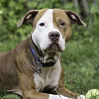 Adopt A Pet :: Odin - Port Washington, NY