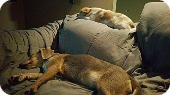 Beagle Mix Dog for adoption in Staunton, Virginia - Sunshine