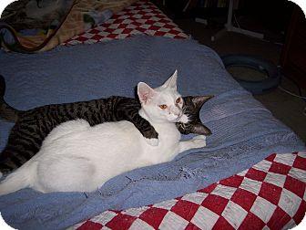 Domestic Shorthair Kitten for adoption in Richmond, Virginia - Casper