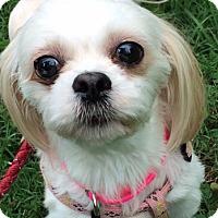 Adopt A Pet :: Ginger - St Louis, MO