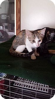 Domestic Shorthair Kitten for adoption in Salem, Ohio - amelia