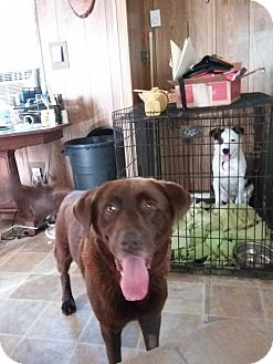 Labrador Retriever/Retriever (Unknown Type) Mix Dog for adoption in sanford, North Carolina - Bentley