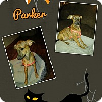 Italian Greyhound Mix Puppy for adoption in Springtown, Texas - Parker