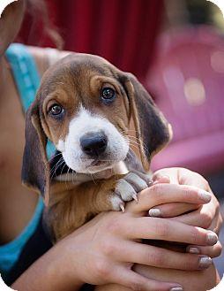 Coonhound/Basset Hound Mix Puppy for adoption in Brattleboro, Vermont - Clairese