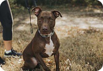 Labrador Retriever Mix Dog for adoption in Northport, Alabama - Bogart