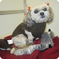 Shih Tzu Dog for adoption in Holton, Kansas - Emmie Lou