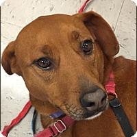 Adopt A Pet :: Annie - Brattleboro, VT
