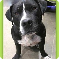 American Pit Bull Terrier/American Bulldog Mix Dog for adoption in Pampa, Texas - Britt Buck Rogers 24929
