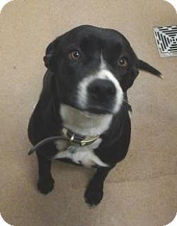 Labrador Retriever/Terrier (Unknown Type, Medium) Mix Dog for adoption in Apple Valley, California - Lilly #161342