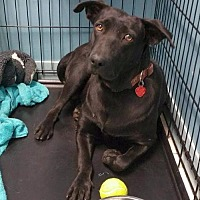 Labrador Retriever Dog for adoption in Rockaway, New Jersey - Summer Moore