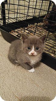 Domestic Shorthair Kitten for adoption in Golsboro, North Carolina - DUSTY