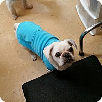 Pug/French Bulldog Mix Dog for adoption in Floral City, Florida - Lucy